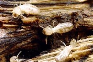 Termite Workers, Reticulitermes hesperus