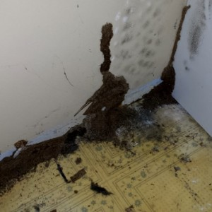 Termite mud tubes on drywall