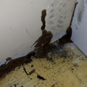 Termite mud tubes on drywall