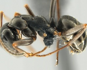 F. fusca worker, field ant - Author: Gary D. Alpert http://antwiki.org/