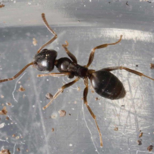 Odorous House Ant (Tapinoma sessile)