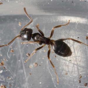 Odorous House Ant (Tapinoma sessile)