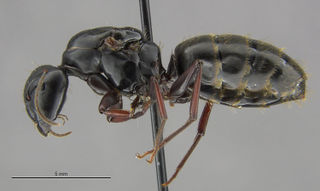 C. modoc Queen - Harvard University, Museum of Comparative Zoology