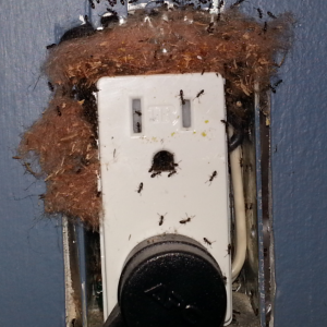 Odorous House Ant Nest in Electrical Outlet