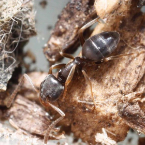 Odorous House Ant (Tapinoma sessile) Worker