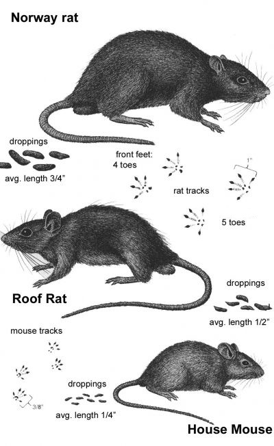 nanaimo-rodents-2